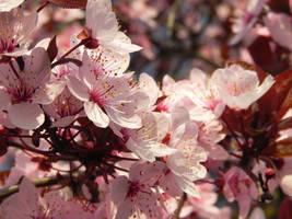 Pink spring by Erisember