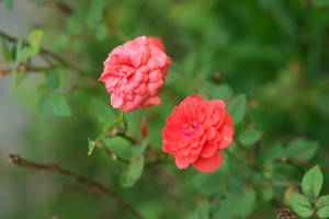 Roses - my garden by brian-1111
