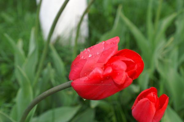 Rain dron on a tulip by MissManic7910