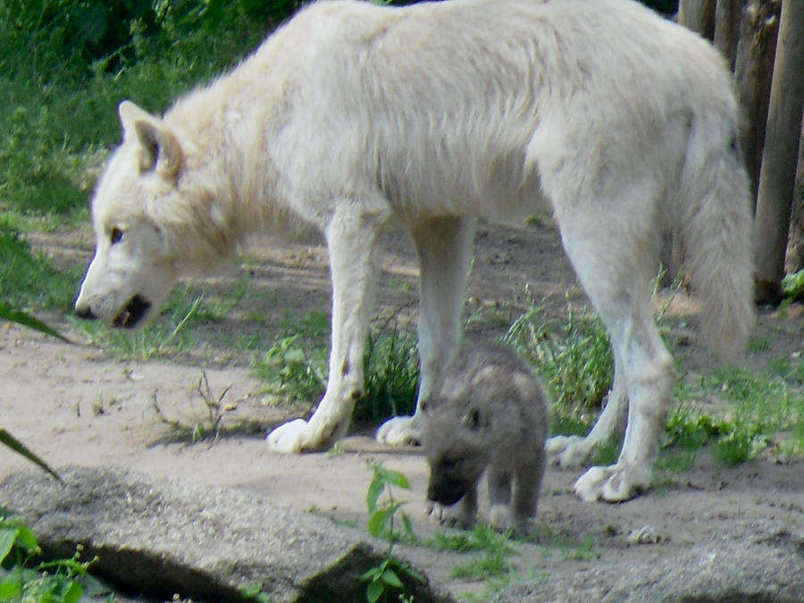 mother white wolf with baby by laurel lion on deviantart. Black Bedroom Furniture Sets. Home Design Ideas