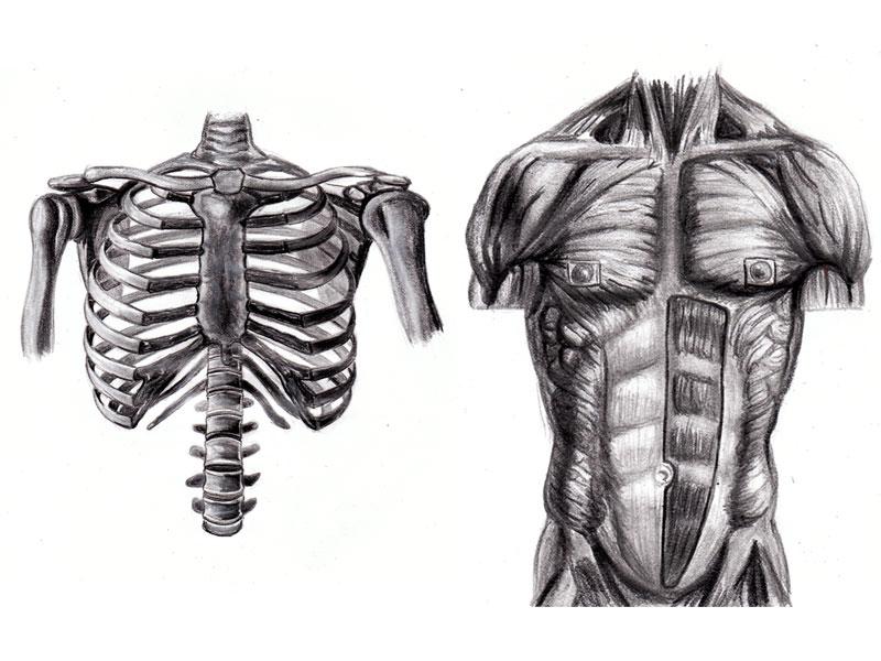 Torso Anatomy Study by RandyS01