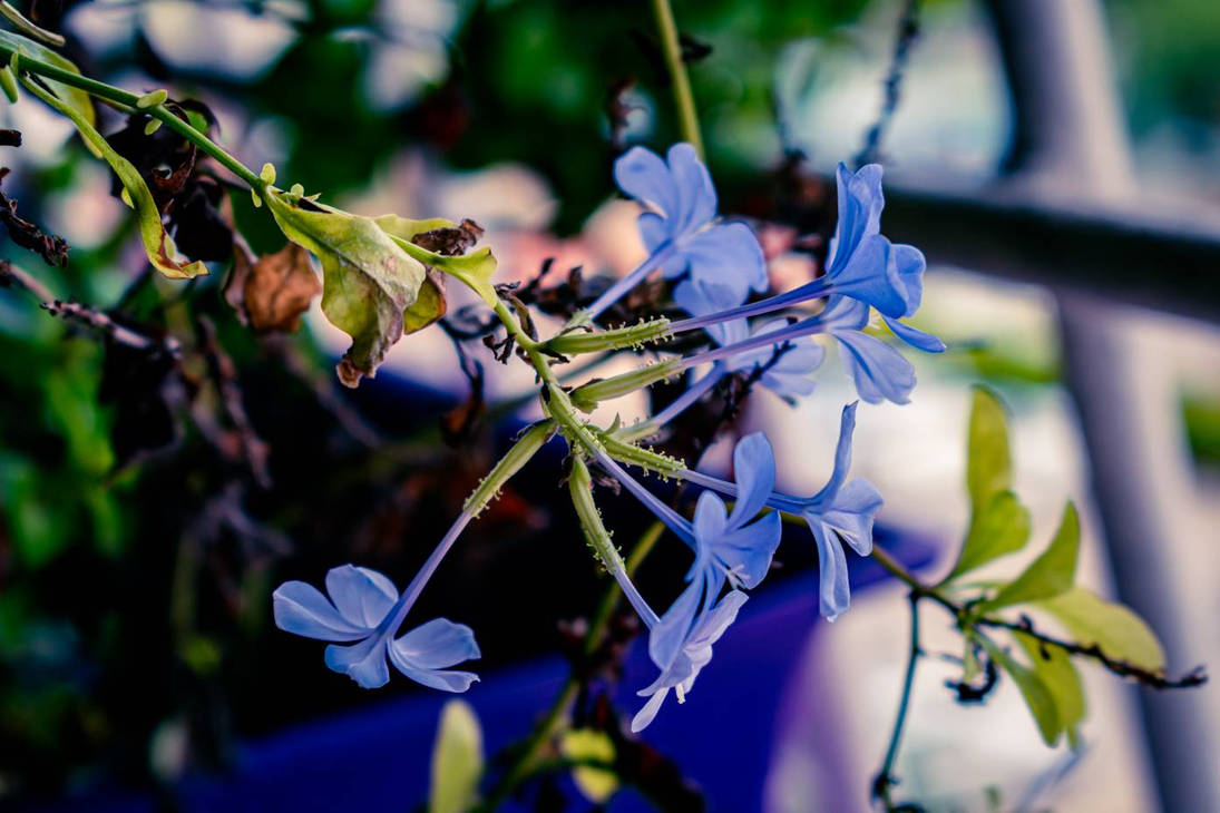 Blue Jazmin