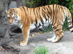 Amur Tiger stock