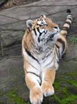 Amur Tiger 3 stock