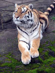 Amur Tiger 4 stock