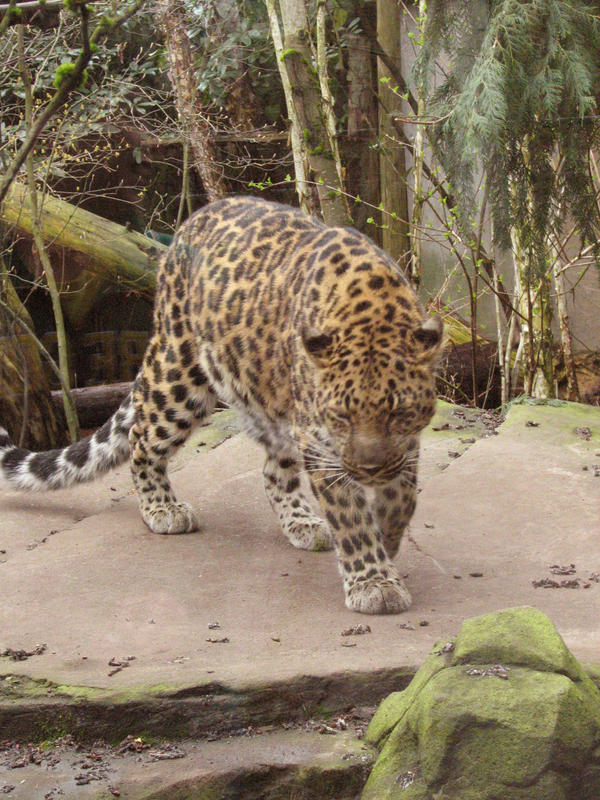 Amur Leopard 1 stock by thiselectricheart