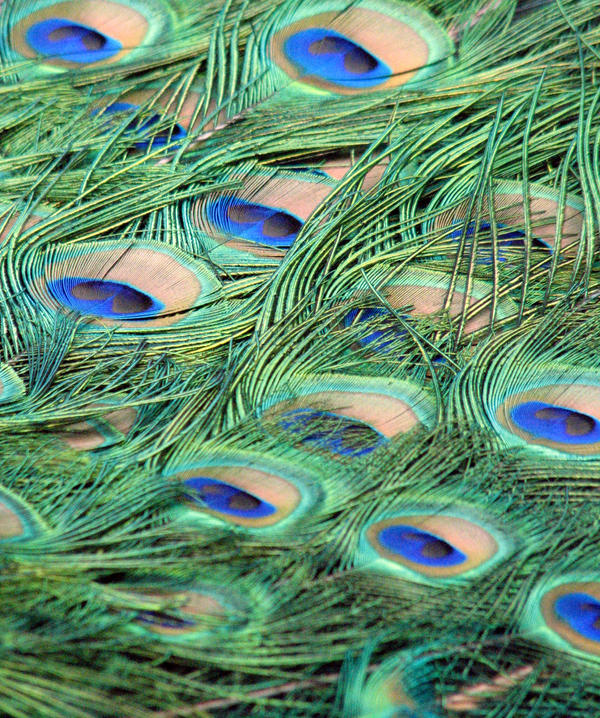 Peacock Feathers stock by thiselectricheart