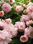 Wet Roses stock