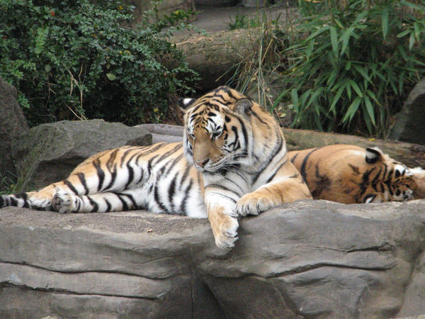 Amur Tigers stock by thiselectricheart