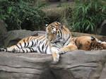 Amur Tigers stock
