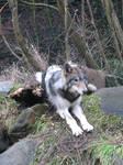 Wolf stock 3