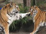 Tiger slap stock