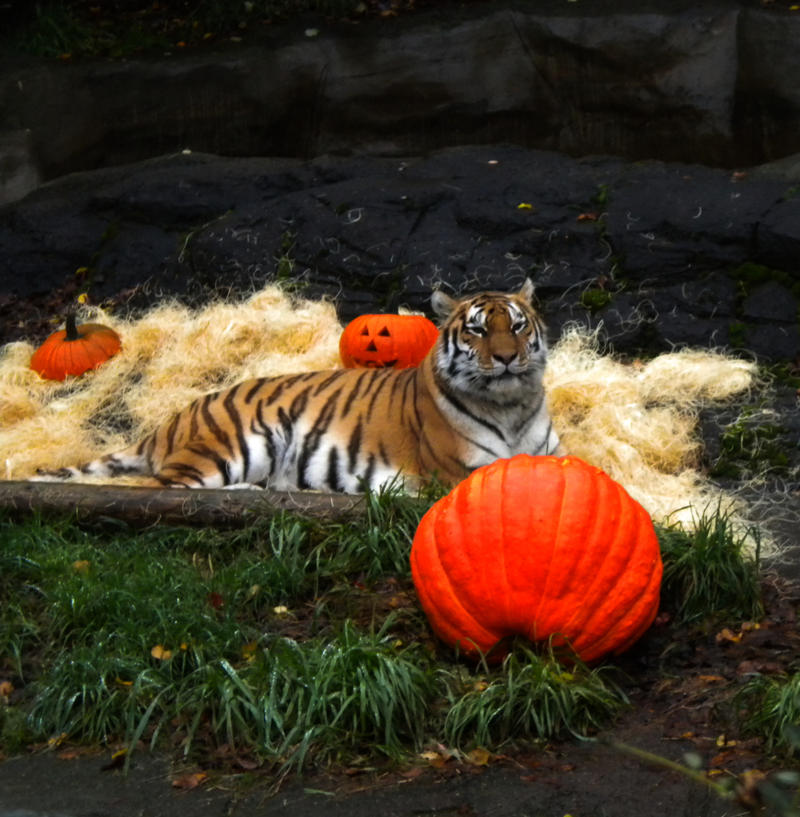 Tiger with pumpkins stock by thiselectricheart