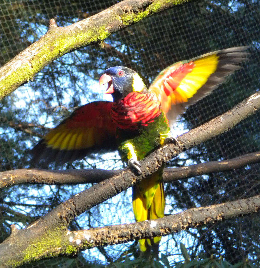 Lorikeet with open wings stock by thiselectricheart