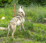 Female Wolf howling stock