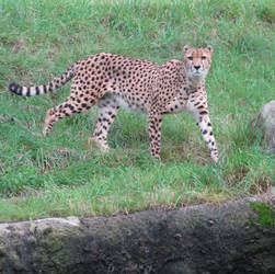 Cheetah 3 stock by thiselectricheart