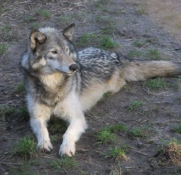 Wolf resting stock