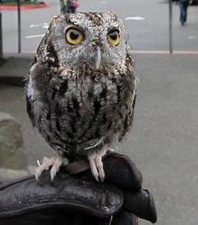 Tiny Owl stock