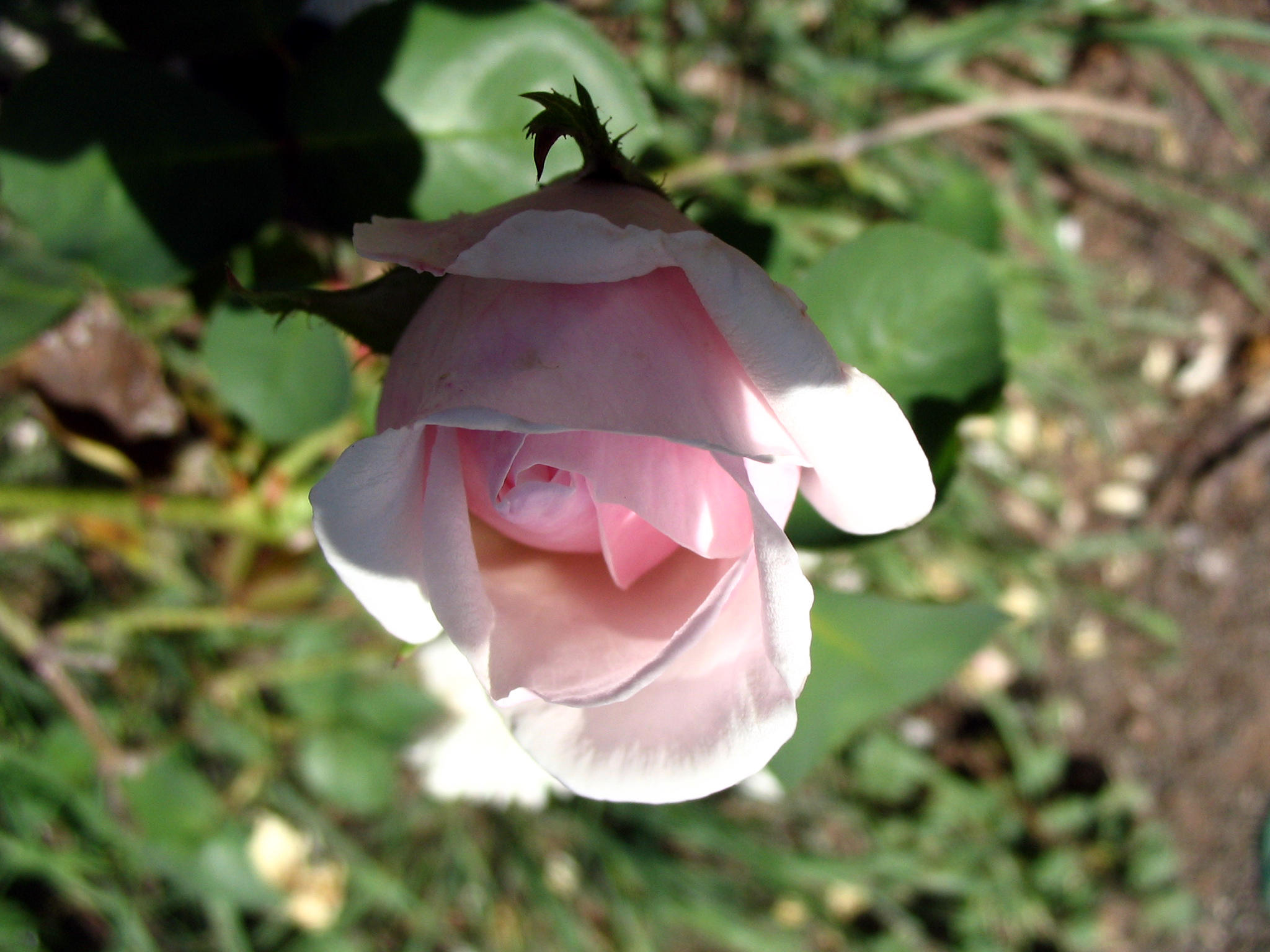 pink rose bud 2 by thiselectricheart
