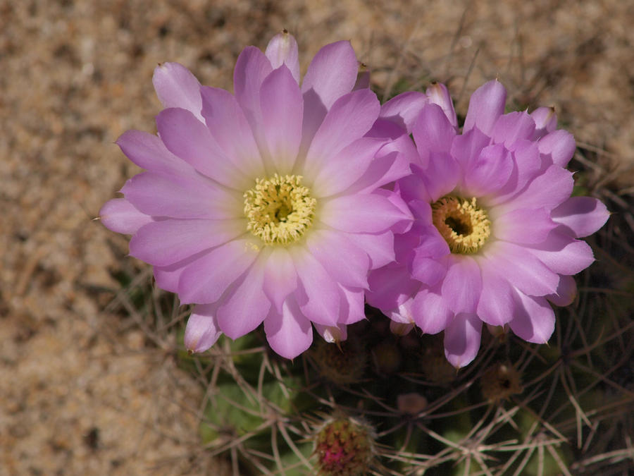 Cactus Flower 1 by photographyflower