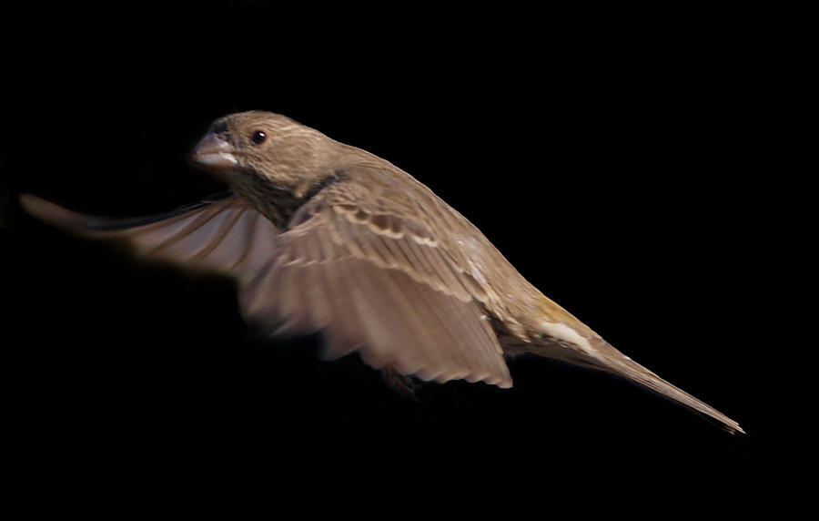 House Finch in flight 2 by photographyflower