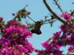 Hummingbird in flight 5