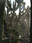 Sun Kissed Spider Web