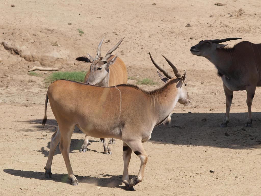 Giant eland walking by photographyflower