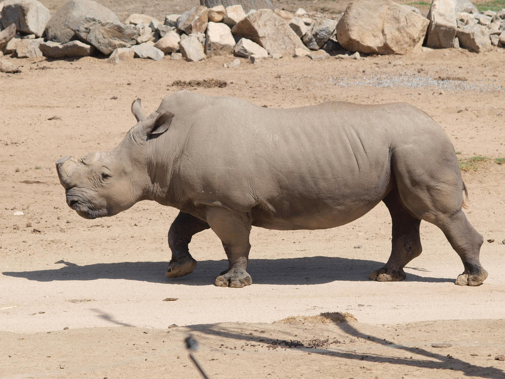 Rhino full body walking by photographyflower