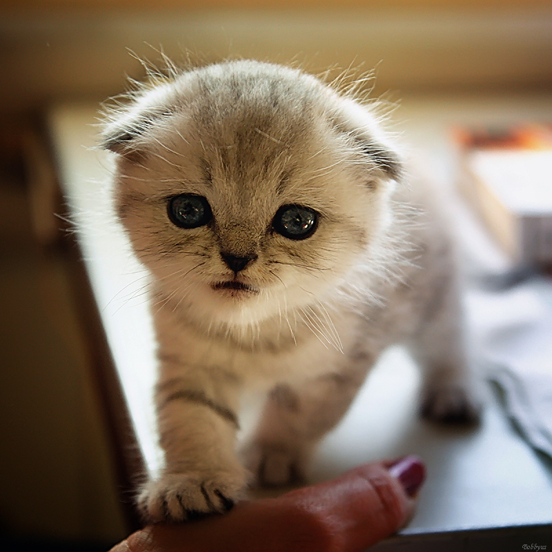 curious kitten by Bobbyus
