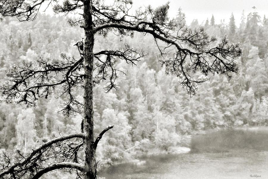 pine by Bobbyus