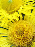 Yellow Chrysanthemums by yuzukko