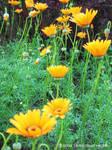Row of Yellow Gerberas by yuzukko