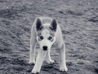 Husky by thezgi