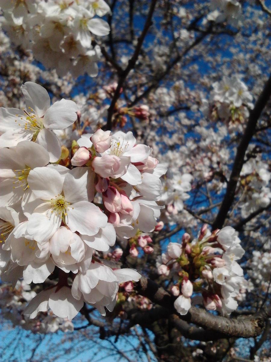 Cherry Blossoms by girlyanimegal