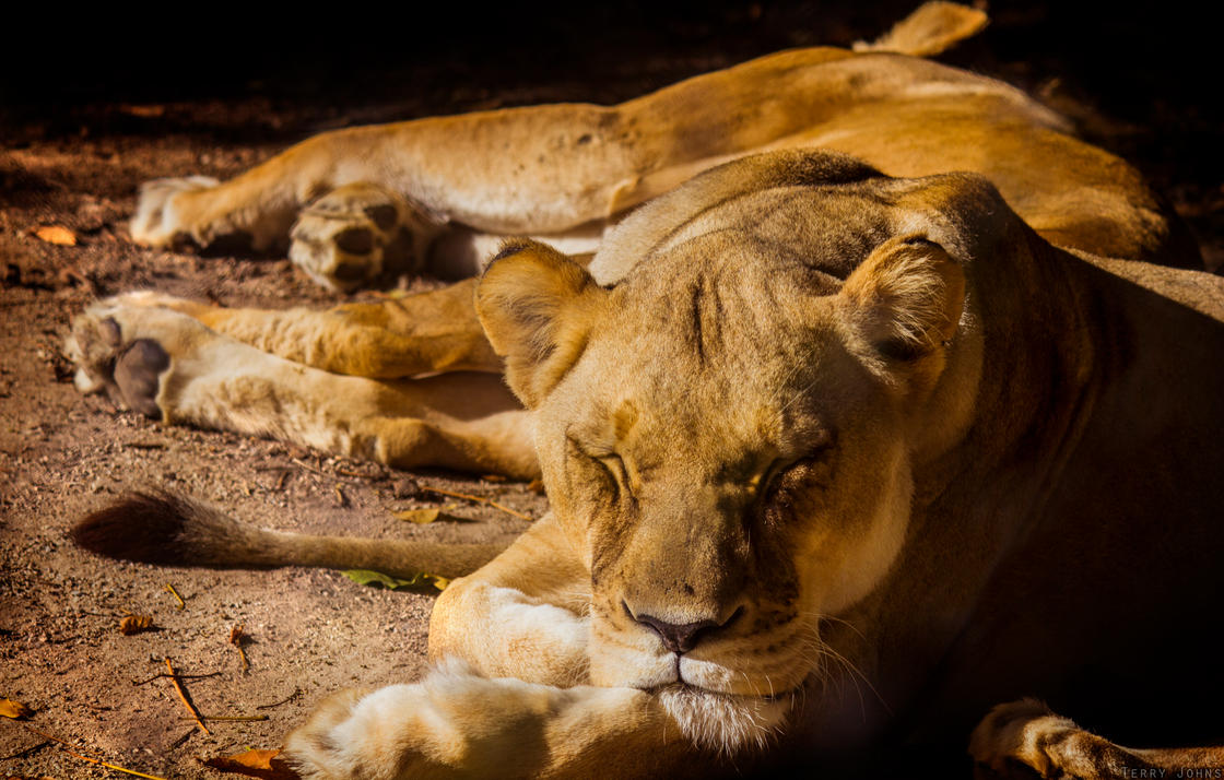 Lioness by SiqueBrand