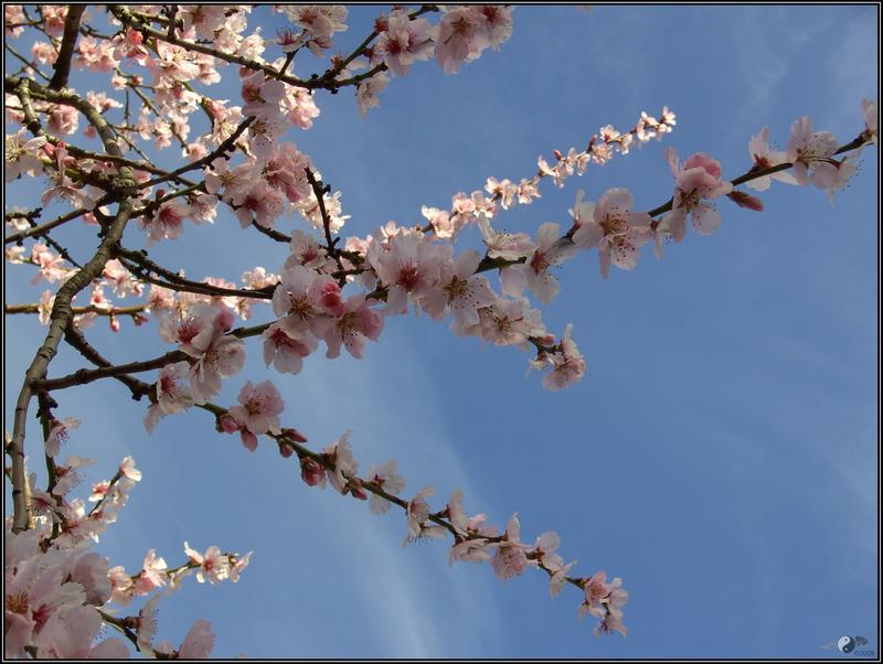 -+-..Sakura Dreams..-+- by Hisui-mi