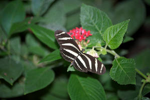 Black-and-white butterfly by chalkwebdesign