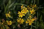 DogWalking - Yellow flowers 2