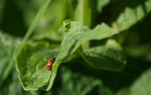 DogWalking - Ladybug by chalkwebdesign