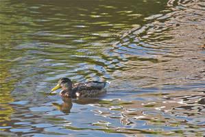 DogWalking - Duck by chalkwebdesign