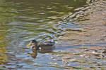DogWalking - Duck