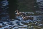 DogWalking - Ducks