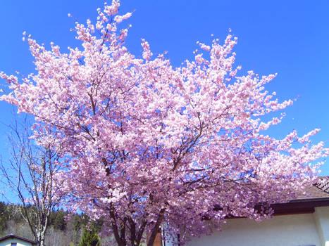 Flowery Cherry Tree