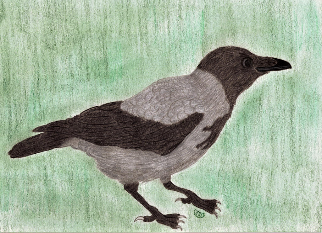 Hooded Crow Looking For Something Yummy Or Funny By Moonymina On