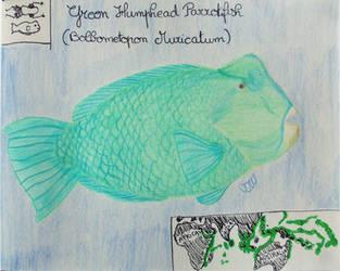 Green Humphead Parrotfish - Animal of May 2019 by MoonyMina