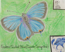 Eastern Tailed Blue - Animal of February 2021
