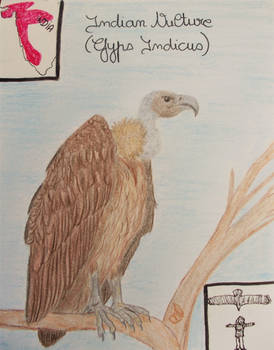 Indian Vulture - Animal of March 2021