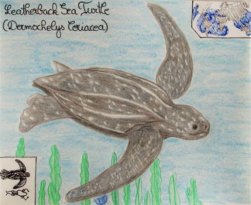 Leatherback Sea Turtle - Animal of July 2021