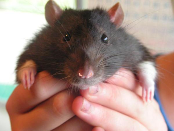 my past pet rat by kitty-litter-babe on DeviantArt